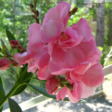 олеандр розовый 13кб